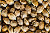 Macro Detail Of Marijuana Seed. Organic Hemp Seed. Close Up. Many Cannabis Seeds. Hemp Seeds Backgro poster