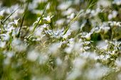 White Rural Flowers. Blooming Flowers. Beautiful White Wild Flowers In Green Grass As Background. Me poster