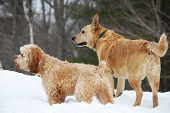 stock photo of cockapoo  - A pair of alert dogs in the snow - JPG