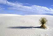 White Sands National Park In New Mexico, Usa With Yucca Plant Growing In The Gypsum Sand Of White Sa poster
