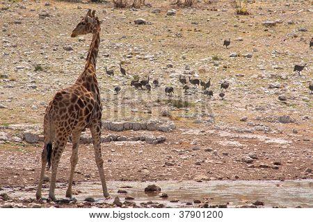 The giraffe (Giraffacamelopardalis)
