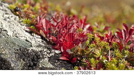 Arctostaphylos alpinus (L.) Sprengel