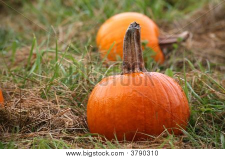 Small Pumkin In Farm Patch