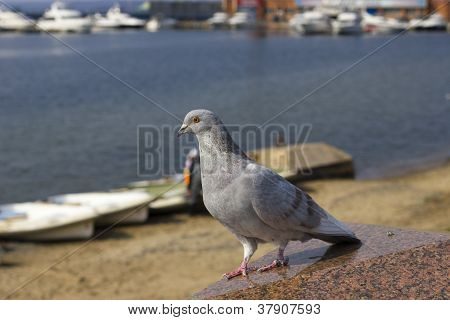 Lonely Pigeon