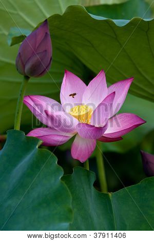 Lotus flower blossom and  lotus flower bud
