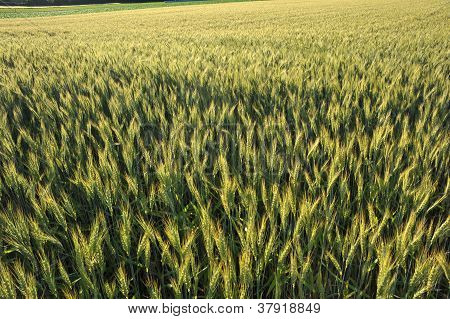 Wheatfield In Ripening Stage