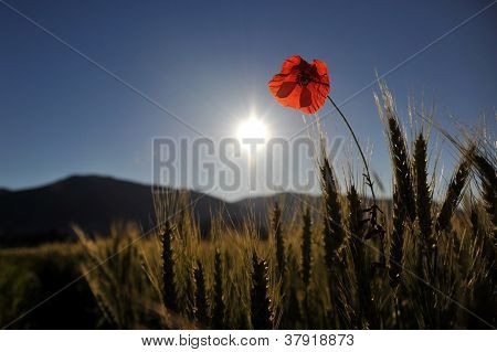 Poppy On The Sunset