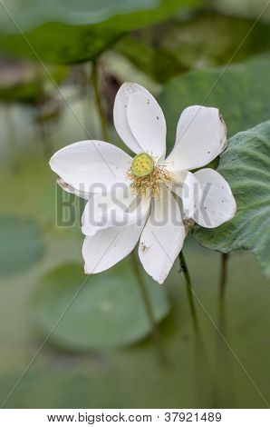 White Lotus bloom