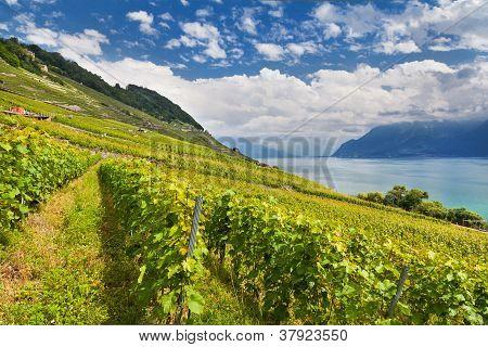 Lake Geneva With Vineyards