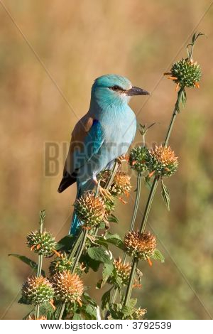 European Roller On Flowers