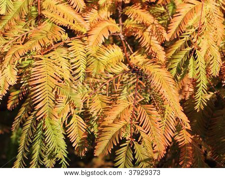 Autumnal Branches Of The Dawn Redwood, Metasequoia Glyptostroboides