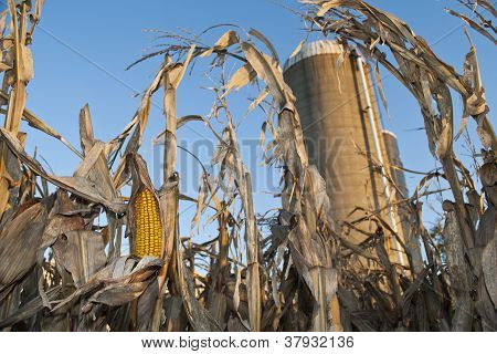 Corn on Stalk Ready for Harvest