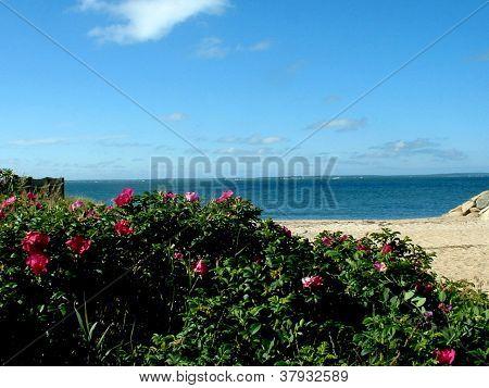 Maravista Beach Roses