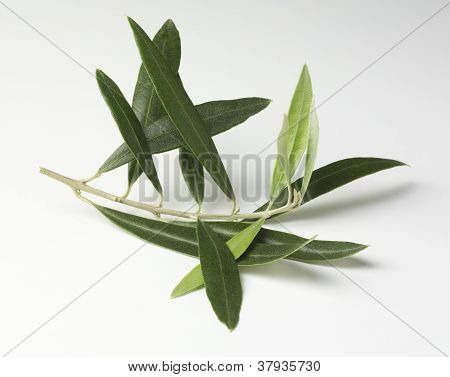 Olive leaves on a twig