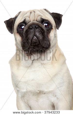 Pug Portrait (serious)