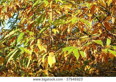 Cutleaf European Beech In Autumn, Fagus Sylvatica Laciniata