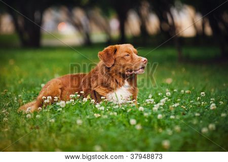 golden retriever Toller dog rests