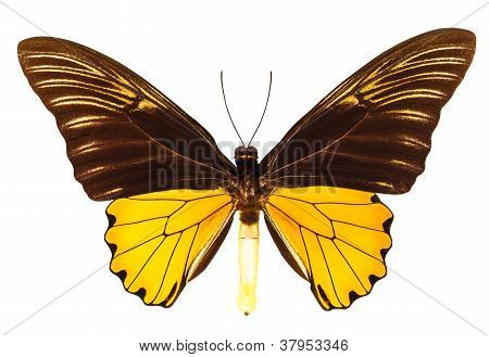 The Malaya birdwing butterfly Isolated on white