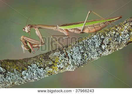 Mantis Eating Hopper