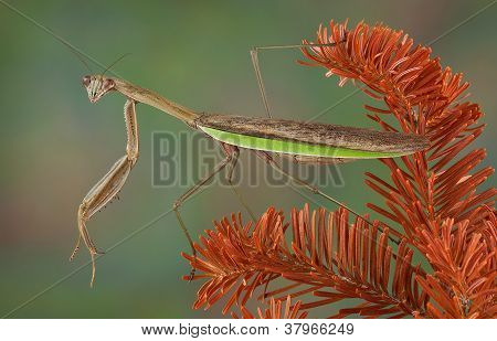 Mantis On Dying Evergreen