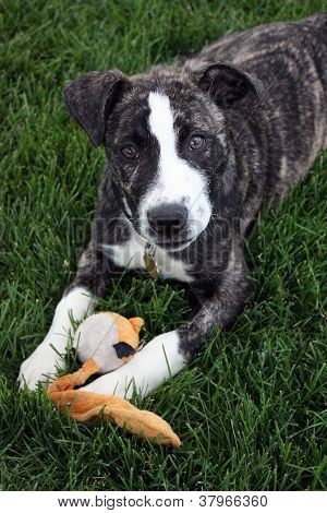 Bulldog puppy laying in grass with dog toy