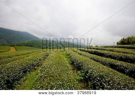 Level of green tea field at Chiang Rai
