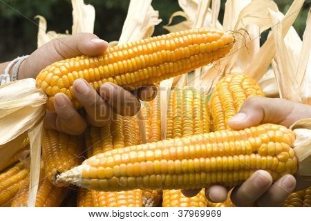 Corn close-up hold with hands after harvest