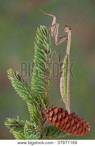 Mantis On Pine Tree
