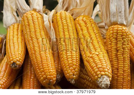 Corn close-up after harvest