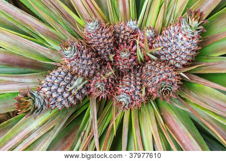 Colorful Of The Little Pineapple