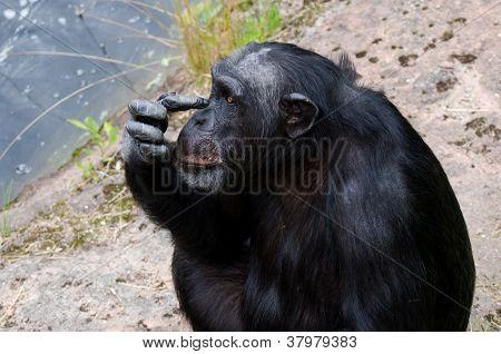 Chimpanzee Scraching