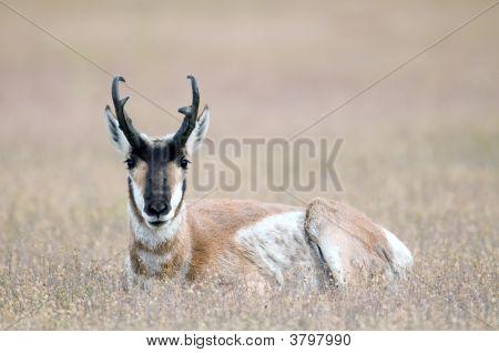 Pronghorn Resting