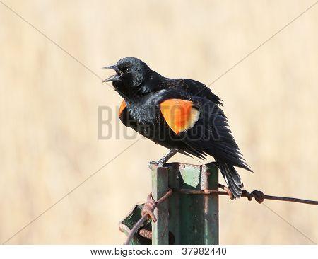 Red-winged Blackbird On Fencepost 1