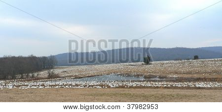 Snow Geese Landscape