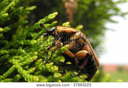 Clinging Green June Beetle