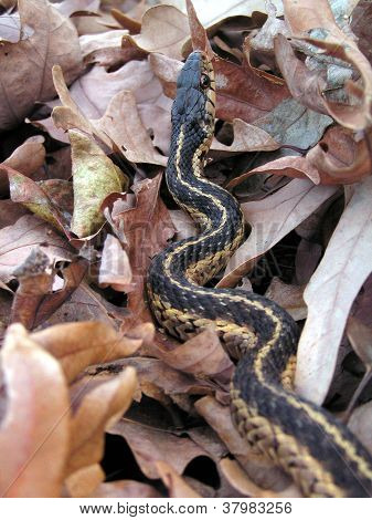Garter Snake In Leaves