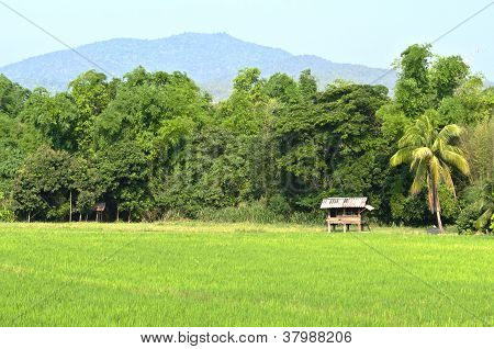Thai Cottage And Green Rice Field