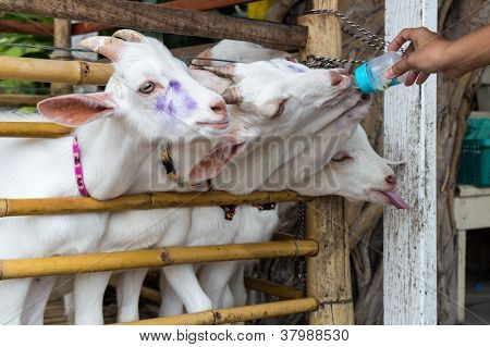 Closeup Goat Feeding By Hand