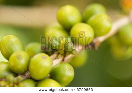Coffee Beans On The Branch