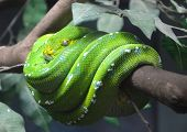 pic of green tree python  - close up of green tree python wrapped around the branches - JPG