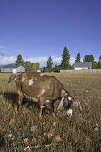 stock photo of nubian  - A brown nubian goat grazes in the autumn grass on a sunny day - JPG