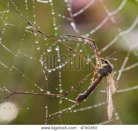 Mosquito In Cobweb