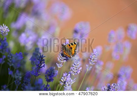 Butterfly On Blooming Lavender
