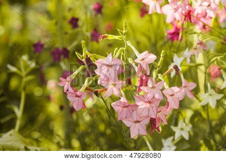 Decorative Tobacco Flowers