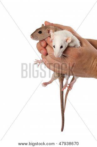 Fancy Rats In Hands