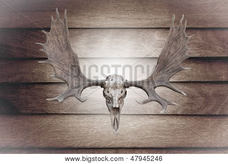 Closeup Skull Moose On Wooden Wall