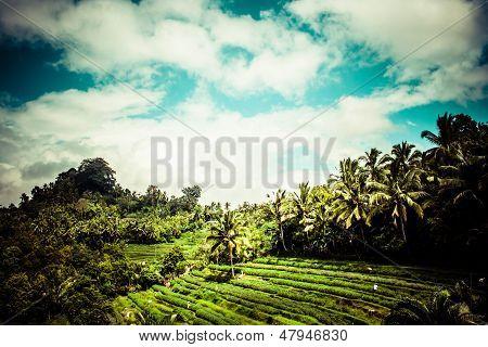 Terrace Rice Fields In Morning Sunrise, Ubud, Bali, Indonesia