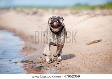 ca de bou dog on the beach
