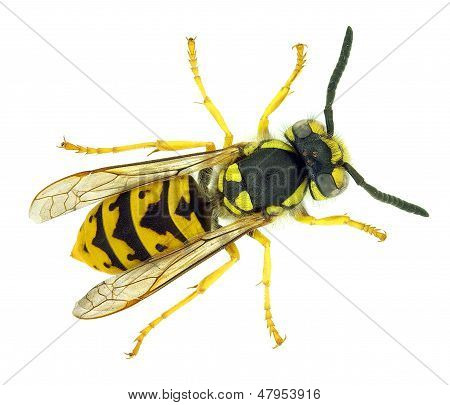 European wasp Vespula germanica, an invasive species in America