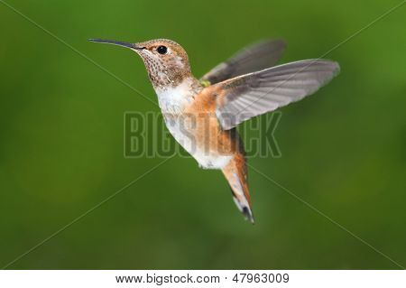 Male Allens Hummingbird (selasphorus Sasin)